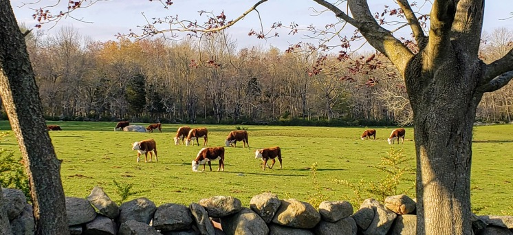 Almost time to send the herd into the pastures for rotational grazing.