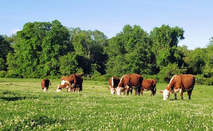 20200608_cowsinclover